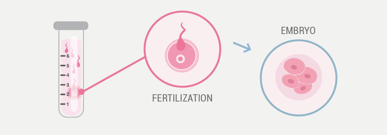 3 embryo culture and fertilisation